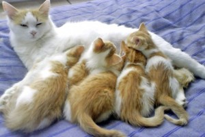 chatte allaitante